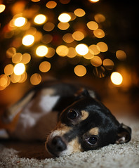 [Free Images] Animals (Mammals), Dogs, Jack Russell Terrier ID:201301121600