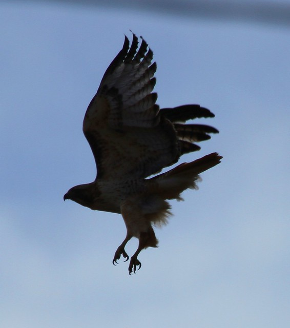 Red-tailed Hawk Silhouette On Take-off | Flickr - Photo ...