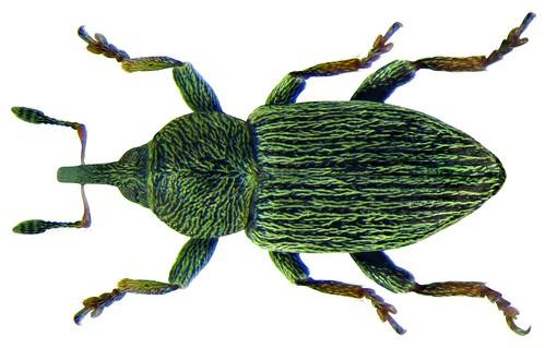 Tychius picirostris (Fabricius, 1787)