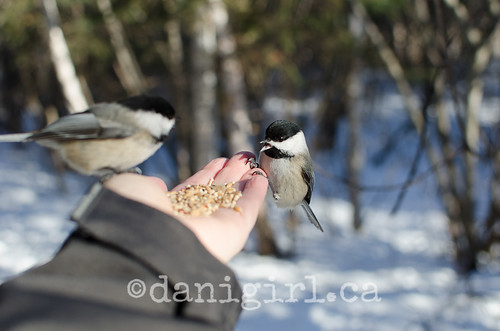 Feeding the chickadees