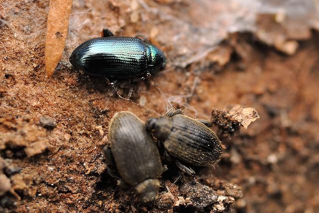 ケヤキ樹皮下の越冬昆虫