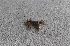 迷失在不透水的地面上,凶狠圓軸蟹只有死路一條。
