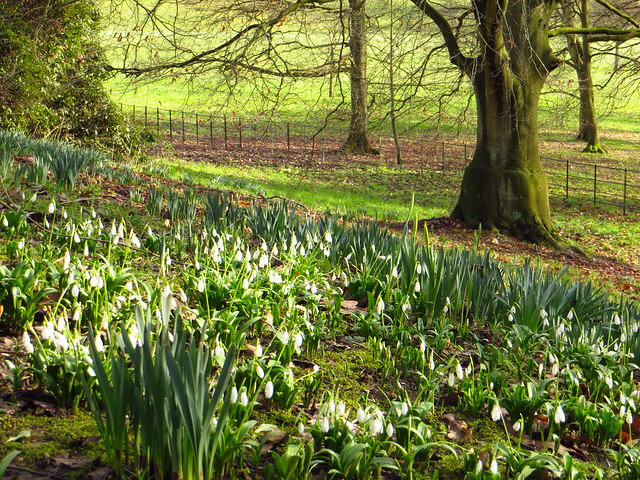Snowdrops at Kenwood