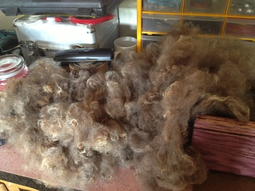 Shetland fleece, picked with the Fancy Kitty mini picker.