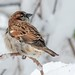 House Sparrow by krisinct- Thanks for 15 Million views!