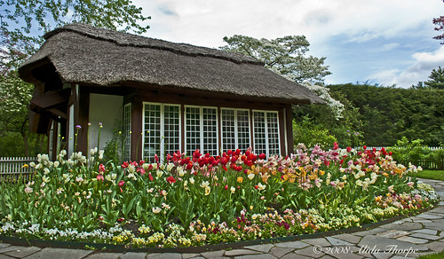 cottage tulips by Alida's Photos