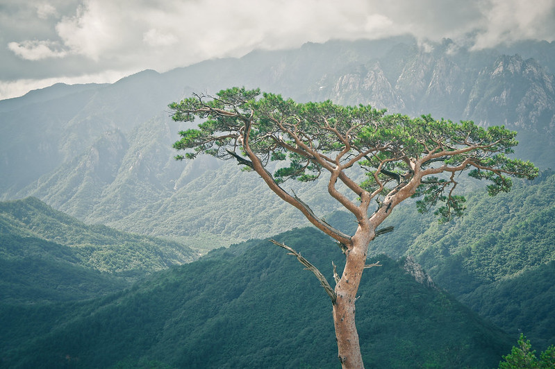 Tree of Ulsanbawi