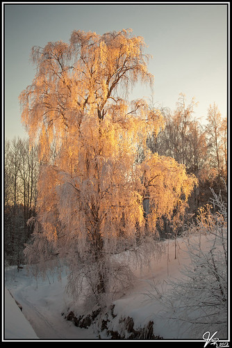 winter sunset snow cold tree ice colors canon finland evening scenery outdoor serene birch icy lieto varsinaissuomi nautelankoski 5dmk2 2880f2840l
