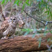 Owl Goes Fishing 09 by Jim Dollar