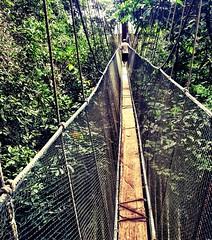 suspension bridge, tree, canopy walkway, forest, rope bridge, bridge,