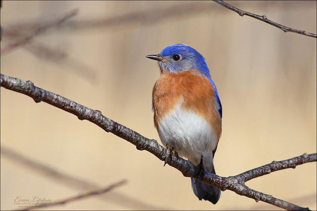 Eastern Bluebird ♂ (Sialia sialis)