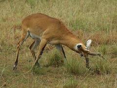 animal, prairie, antelope, springbok, mammal, hartebeest, fauna, impala, savanna, grassland, safari, gazelle, wildlife,