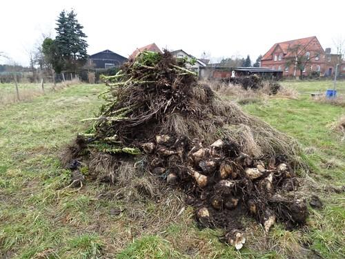 Feldkompost mit Zuckerrüben