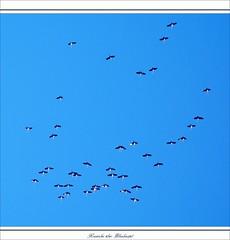 Frühlingszug der Kraniche (cranes - grues cendrées - grus grus) über dem Blieskasteler Gollenstein (Menhir)