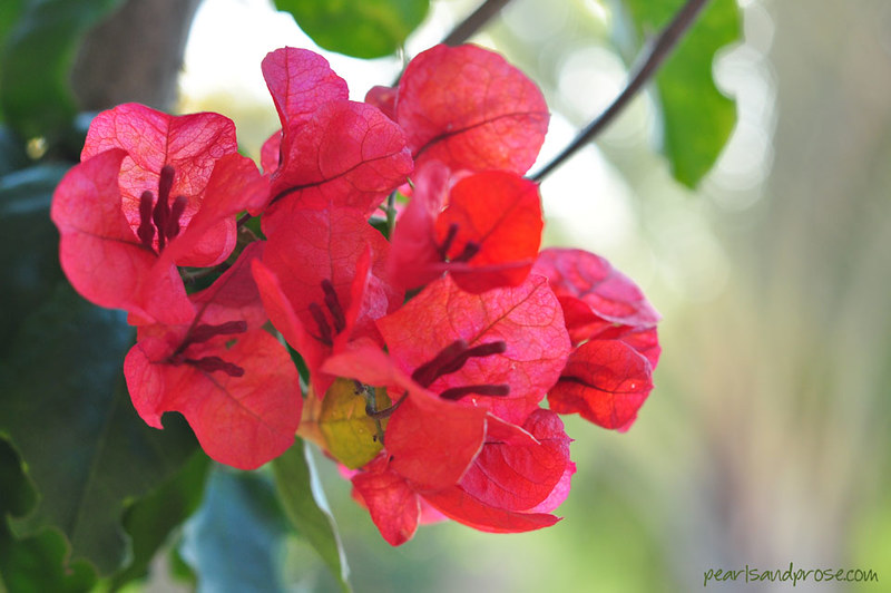 carillo_bougainvillea_web