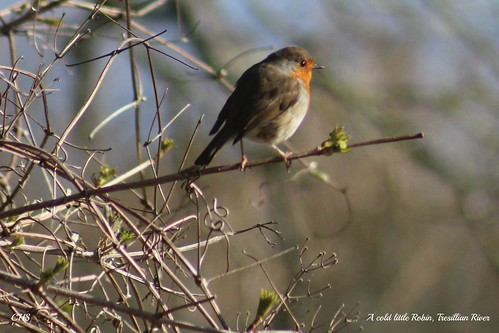 A cold little Robin, Tresillian River by Stocker Images