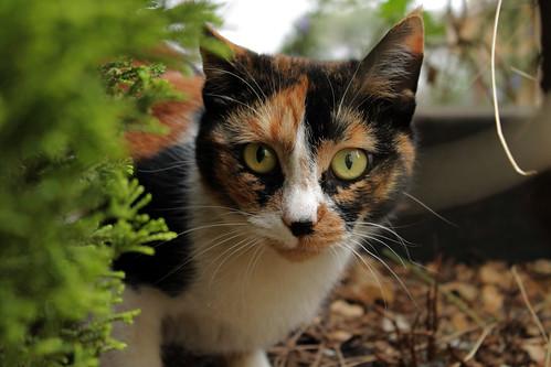 [フリー画像素材] 動物 (哺乳類), 猫・ネコ ID:201303211000