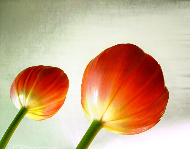 Two newly opened orange tulips look like lollipops on a sage green distressed background.