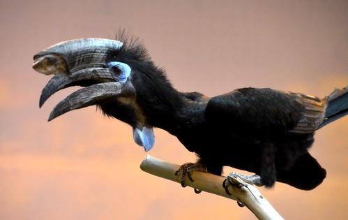 hornbill birds aves nature feathers cincinnatizoo ngc besteverdigitalphotography vigilantphotographersunite vpu2 vpu4 vpu3 jennypansing czbg