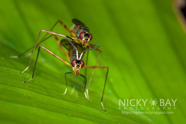 Stilt-Legged Flies (Micropezidae) - DSC_5473