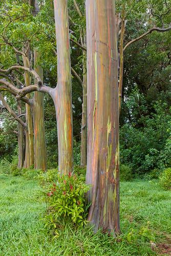 Rainbow Eucalyptus (Eucalyptus deglupta)