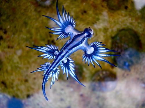 Blue dragon-glaucus atlanticus