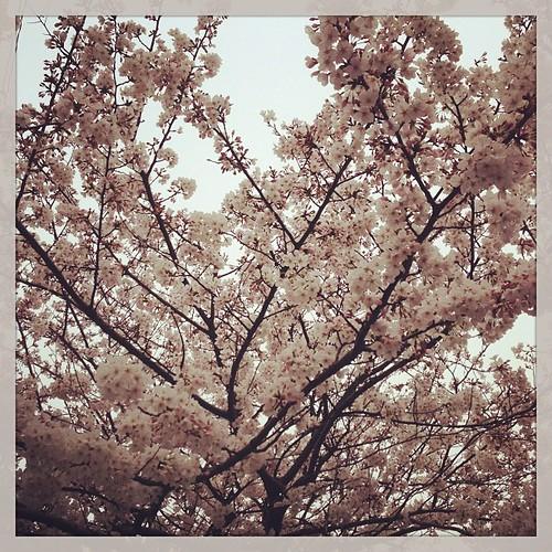 明日のお花見は行く元気がないので、週末は地元で花見散歩しようかな