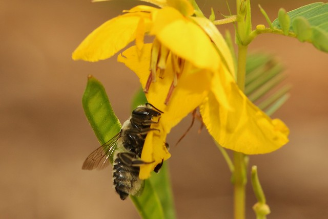 Leafcutter bee on Partridge Pea Corolla