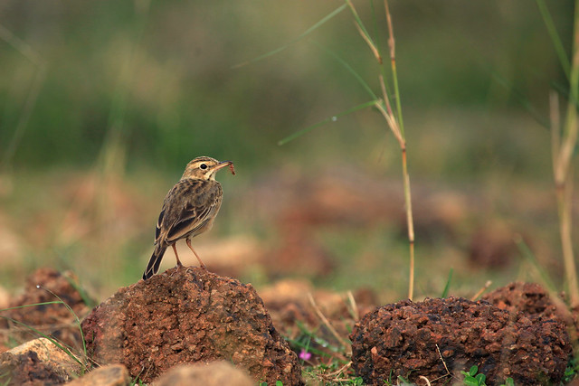 Wood Lark with prey