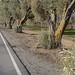 Cold Olives