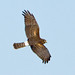 Northern Harrier - Photo (c) BJ Stacey, some rights reserved (CC BY-NC)