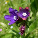 Small photo of Anchusa species. (officinalis). Alkanet.