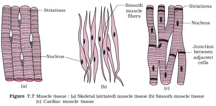 NCERT Class XI Biology: Chapter 7 - Structural ...