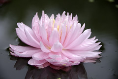 Waterlelie Lily Pons