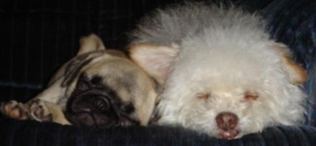 Pug Dog Sleeping Images
