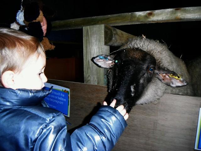 Meeting sheep