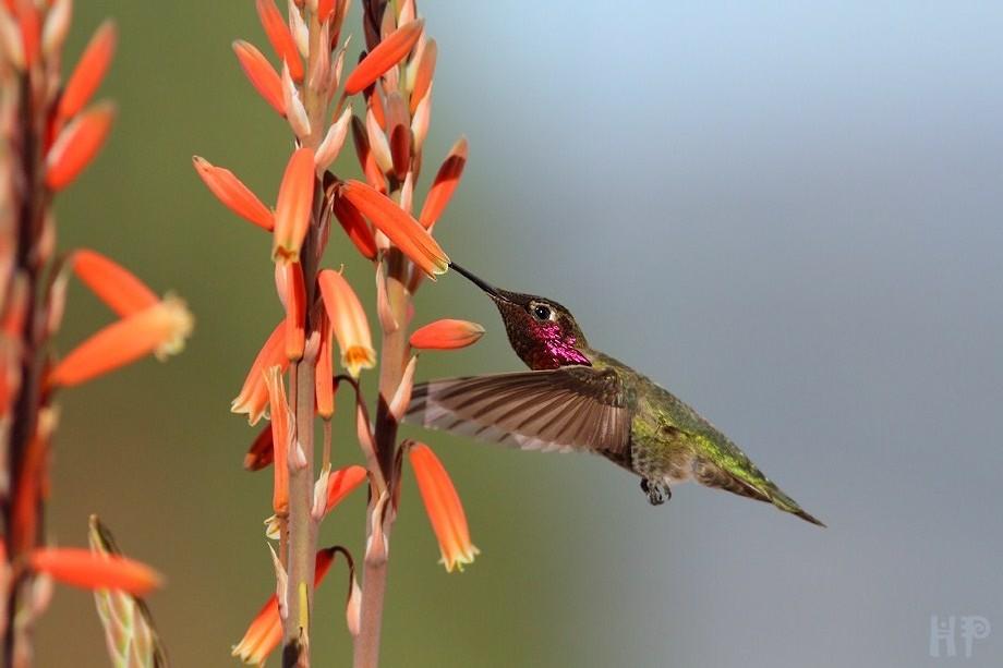Anna's Hummingbird 021913