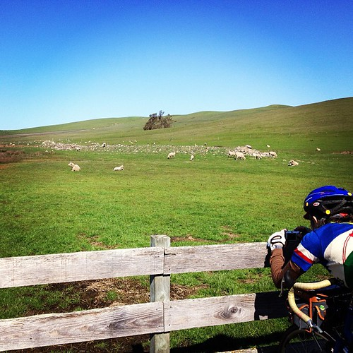 Baaaa with juliayn on the sfr two rock/valley ford 200k. #bike #randonneur #sheep #northencalihaslotsofsheepandcows