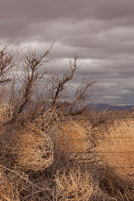 Tumbleweed in Barbed Wire Fence