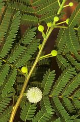 tree(0.0), ostrich fern(0.0), ferns and horsetails(0.0), vascular plant(1.0), shrub(1.0), flower(1.0), branch(1.0), leaf(1.0), plant(1.0), flora(1.0), green(1.0), vegetation(1.0),