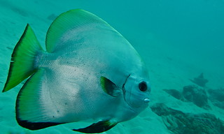 Dusky Batfish (Platax pinnatus)