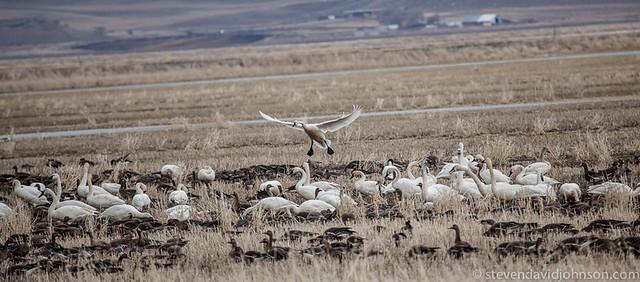 Tundra Swan landing, Klamath Basin National Wildlife Refuge