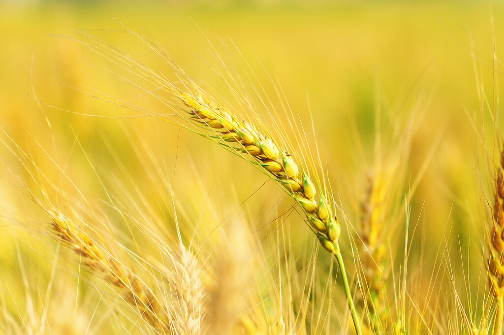 「小麦 フリー画像」の画像検索結果