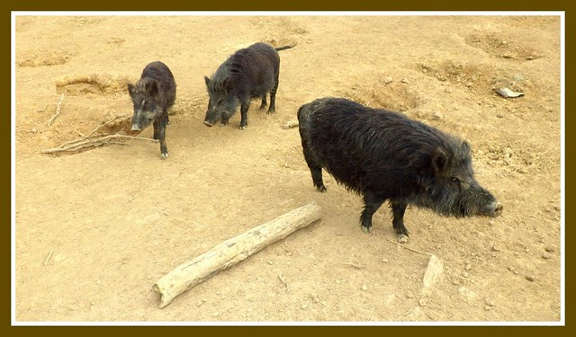 WILD BOAR INSIDE A CORRAL IN NORTHERN OKINAWA