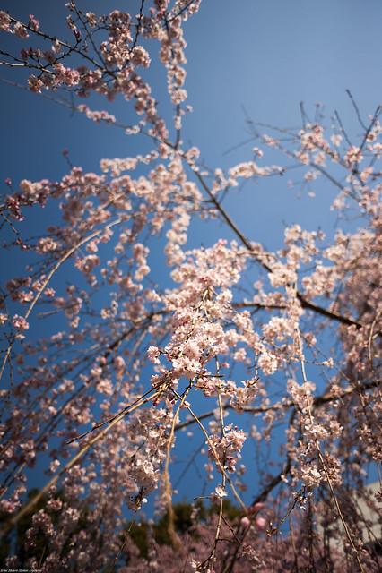 Blossom in Sunshine - Sky