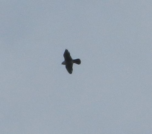 High up Peregrine