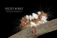 Caterpillar infected by parasitoid wasp eggs? - DSC_8814