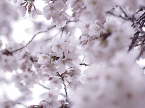 Sakura bloom in Tokyo 07