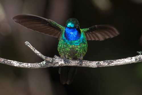 birds animals ecuador hummingbirds loja animalia vertebrates trochilidae purplethroatedsunangel heliangelusviola