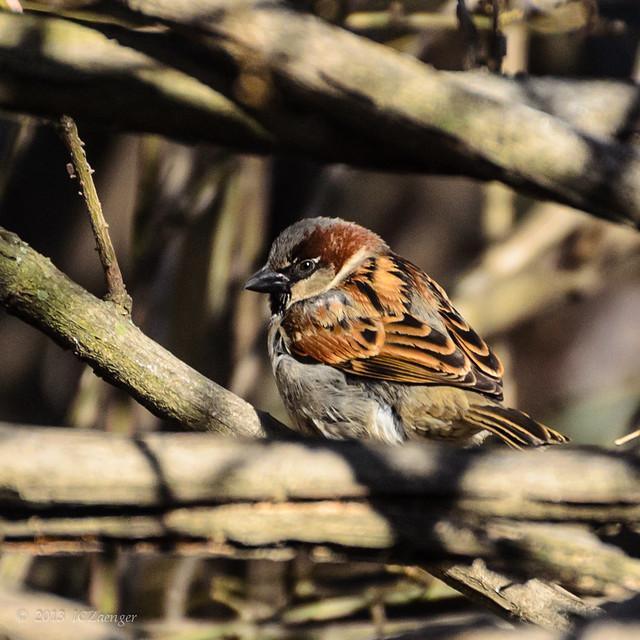 Late March Sparrow